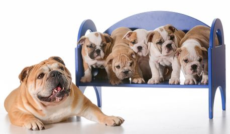 Bulldog with her puppies